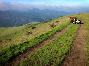 Cows on Wildcat Canyon